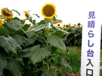 ひまわりフェスティバル0767.jpg