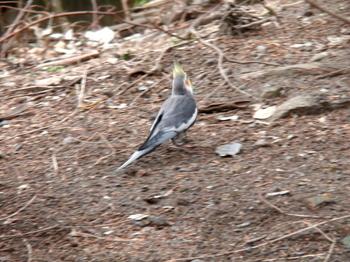 キャンベルタウン野鳥の森1713.jpg
