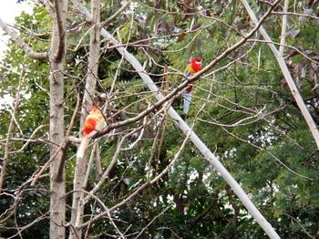 キャンベルタウン野鳥の森2056.jpg
