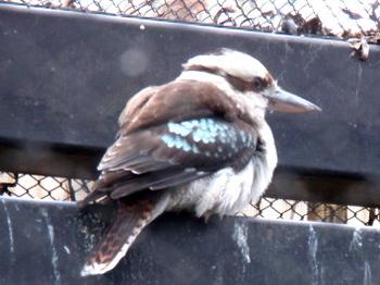 キャンベルタウン野鳥の森2058.jpg