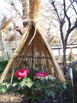 上野・東照宮ぼたん苑1263.jpg