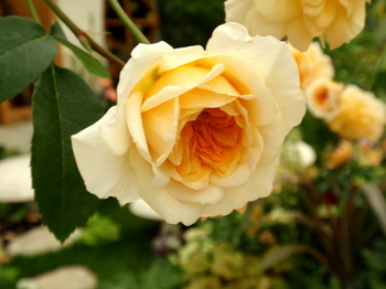 国際バラとガーデニングショウ0519.jpg