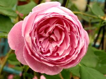 国際バラとガーデニングショウ0802.jpg