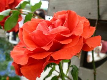 国際バラとガーデニングショウ0967.jpg