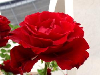 第14回 国際バラとガーデニングショウ0720.jpg