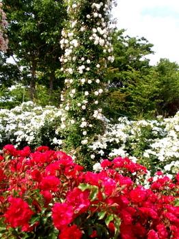 京成バラ園0205.jpg