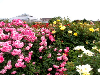 京成バラ園0543.jpg